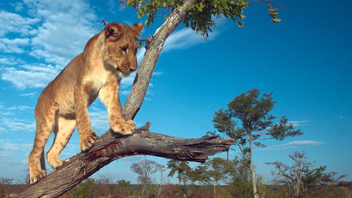 Trädklättrande lejon i Queen Elizabeth Nationalpark