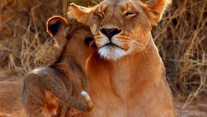 Lejonhona med unge i Samburu Nationalpark.