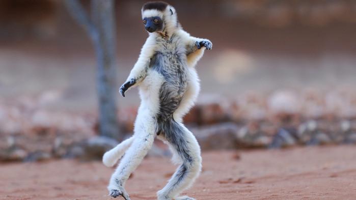 Med lite tur får ni se dansande lemurer i Andasibe och Ranomafana